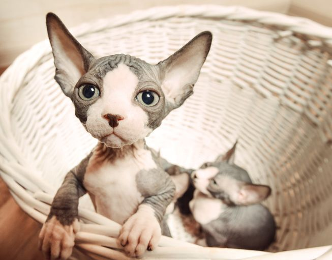 Who can resist a basket of tiny Sphynx kittens? #SphynxCat