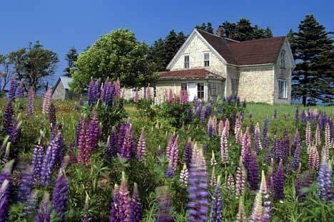 PEI, Canada - with lupins