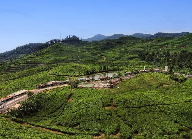 kebun teh dekat villa puncak bogor murah