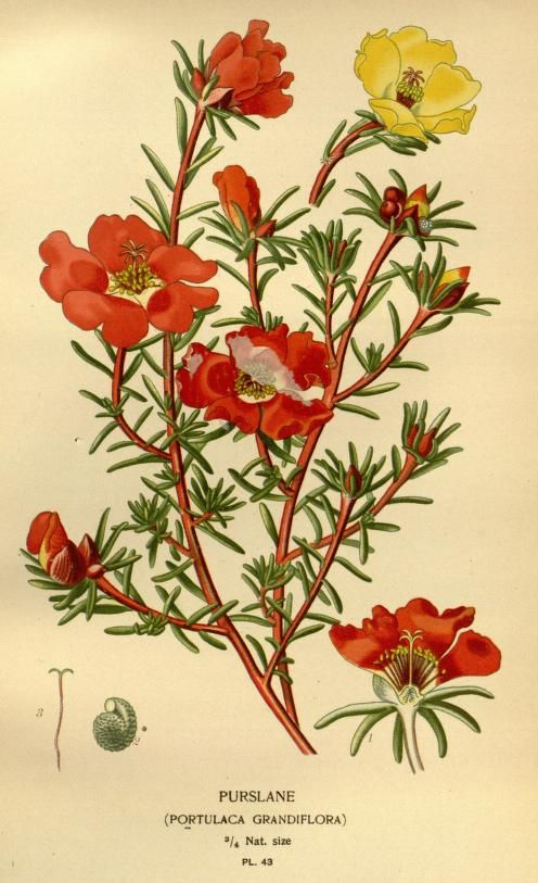 moss rose : Purslane. Plate from 'Favourite Flowers of Garden and Greenhouse' by Edward Step.