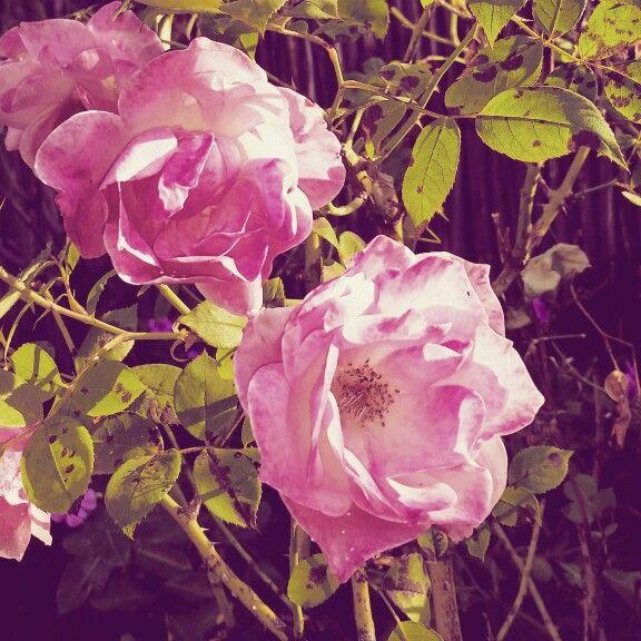 My lovely rose bushes