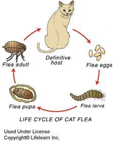 Can Fleas Make Cat Vomit