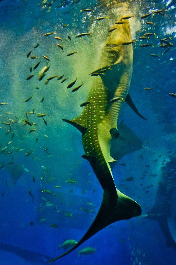 Okinawa Churaumi Aquarium, Japan