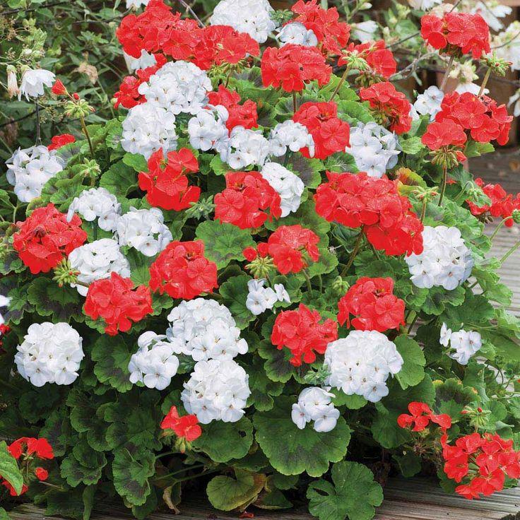 white geraniums | Flowers Flower Plants Annual Bedding Plants Geranium St George