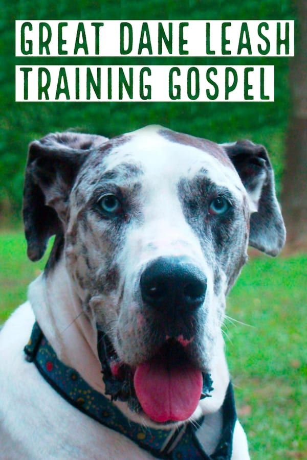 Pin By Great Dane Care On Great Danes Leash Training Great Dane