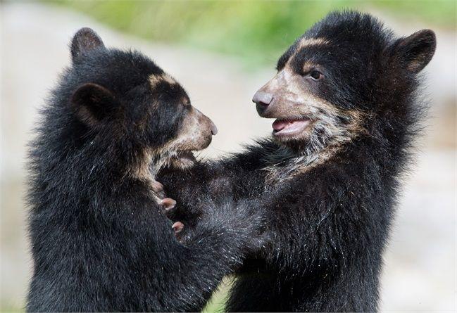 Due cuccioli di orso bruno giocano allo Zoo di Francoforte.