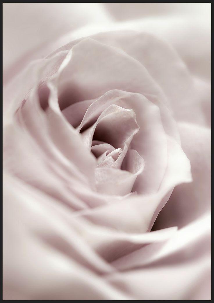 Soft Rose, från Insplendor tryckt med Giclée Fine Art Print-teknik