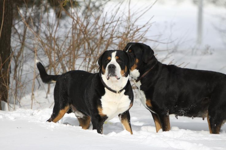 Greater Swiss Mountain Dog Breed Information - American Kennel Club