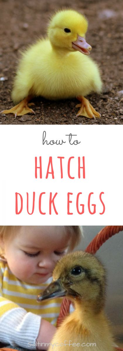 We average a 94% hatch rate, with regular tabletop incubators, using this method! How to hatch duck eggs.  via @saltinmycoffee