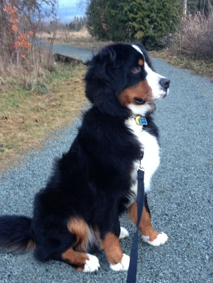 Bernese Mountain Dog...Theodore!