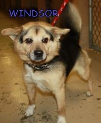 Windsor-Kingsport Shelter is an #adoptable Welsh Corgi Dog in #Blountville, #TENNESSEE. ...