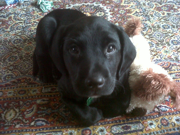 Zappa at 7 weeks old (Springador = Springer Spaniel x Labrador)