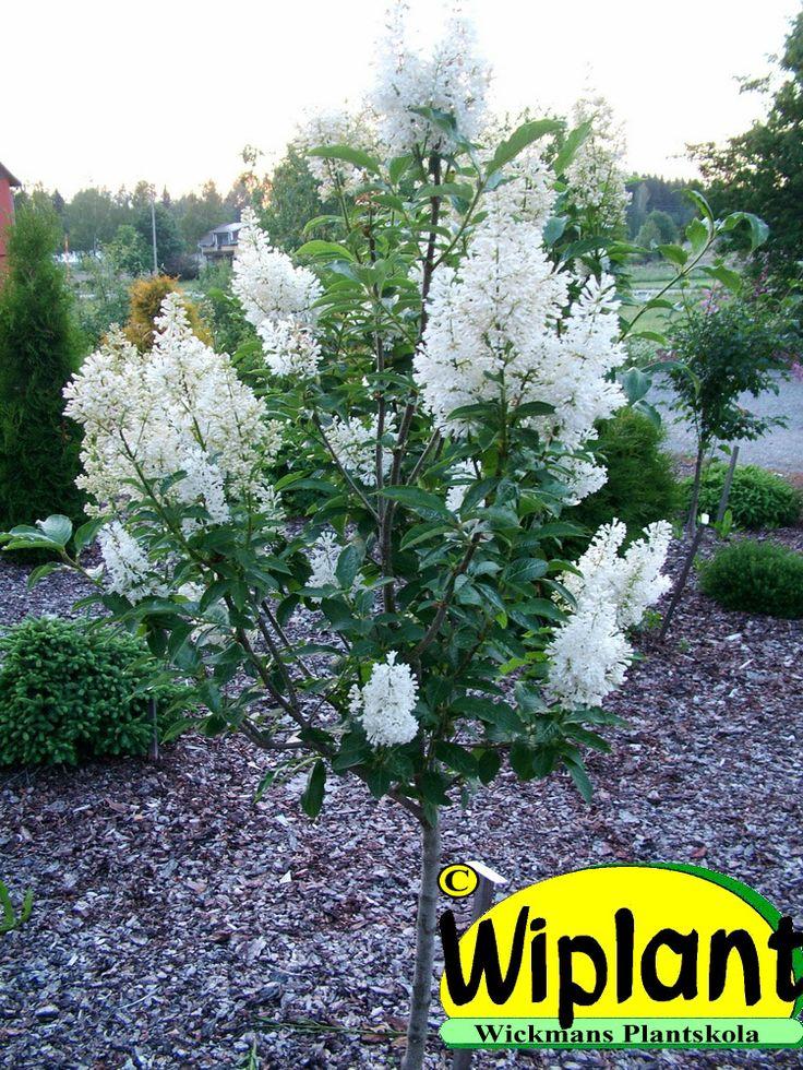 Vit stamsyren, Syringa 'Holger' grupperas nuförtiden till prestonsyrenerna. Denna blommar rent vitt och lika rikligt alla år. Holger är mycket härdigare än t.ex den vita Tammelan kaunotar. Höjd ca 1,5-3 meter.