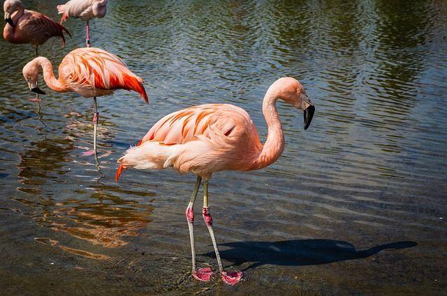 Free Image on Pixabay - Flamingos, Birds, Wild, Wildlife