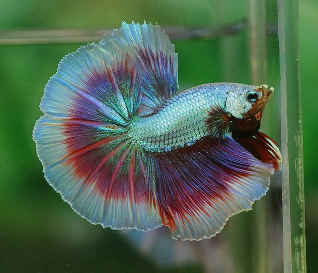 Dsc04625 betta rainbows and dragons for Butterfly betta fish