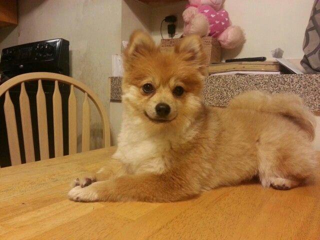 Pomeranian summer haircut so cute