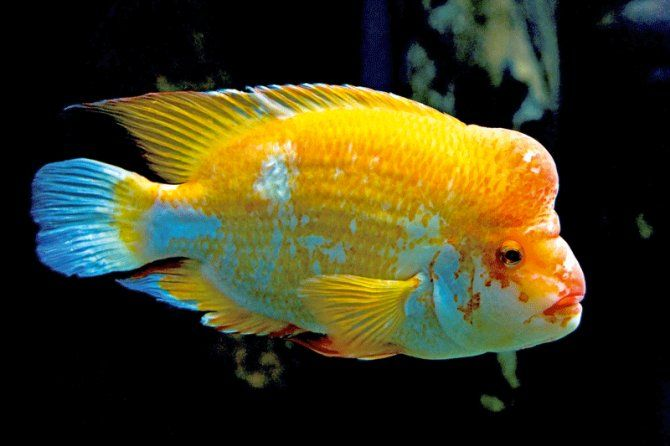 Yellow Devil Cichlid Freshwater Aquarium Fish