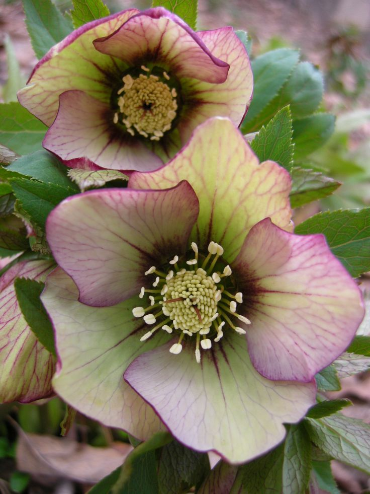 Hybrid hellebore. A winter-flowering perennial. Helleborus - Height 45 cm / Spread 45-60 cm, Zones 4-9b, Shade/Partial Shade.
