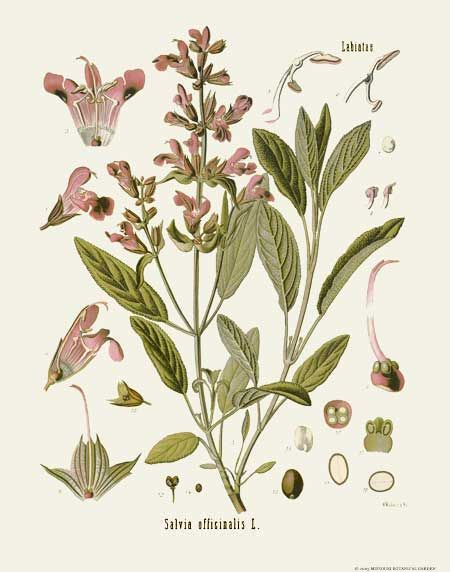 [ Botanical Print: Salvia officinalis, Sage ] illustrated by Franz Eugen Kohler (c. 1883-1914). For sale (or admiration). ~ on Missouri Botanical Garden Press mbgpress.info