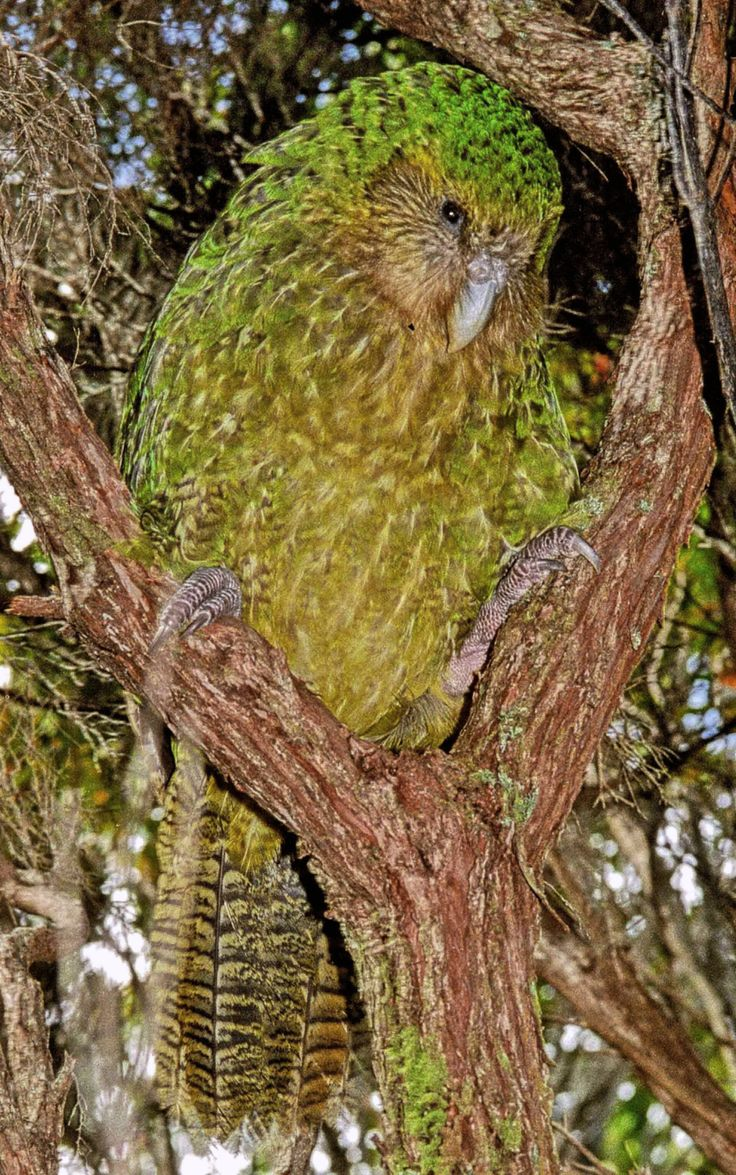 "Kakapo: rare bird of New Zealand. There are only 62 left in existence. The name comes from the native Maori language, meaning ""night parrot."""