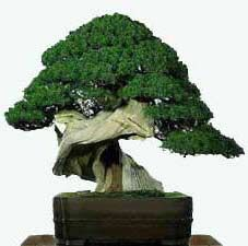 Китайский можжевельник (Juniper chinenses)