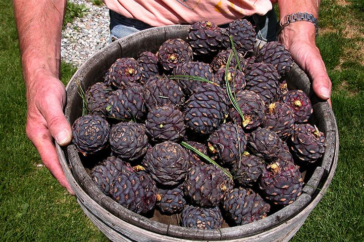 Into the Woods: The Rise of Pine Liqueurs | Story: Hope Ewing | Photo: Eric Seed