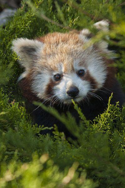 Amigurumi Panda Roux : 17 Best images about I love red pandas! on Pinterest ...