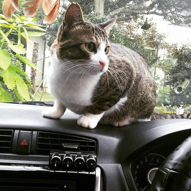 愛車の車内に愛猫www 砂の足跡🐾かなりついた お前なら許すw #ekcustom#愛車#車内#愛猫#猫#cat#catgram#catgrams#ねねしりーず