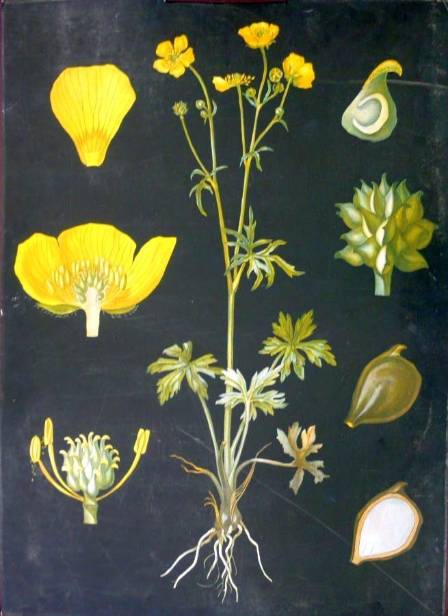 Niittyleinikki (Ranunculus acris)  - Ebba Masalin (29 August 1873 - 31 March 1942) Finnish painter, graphic artist and illustrator. -  http://fi.wikipedia.org/wiki/Ebba_Masalin