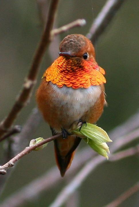 "Meet ""Selasphorus rufus"" .. The Rufous Hummingbird .. The feistiest hummingbird"