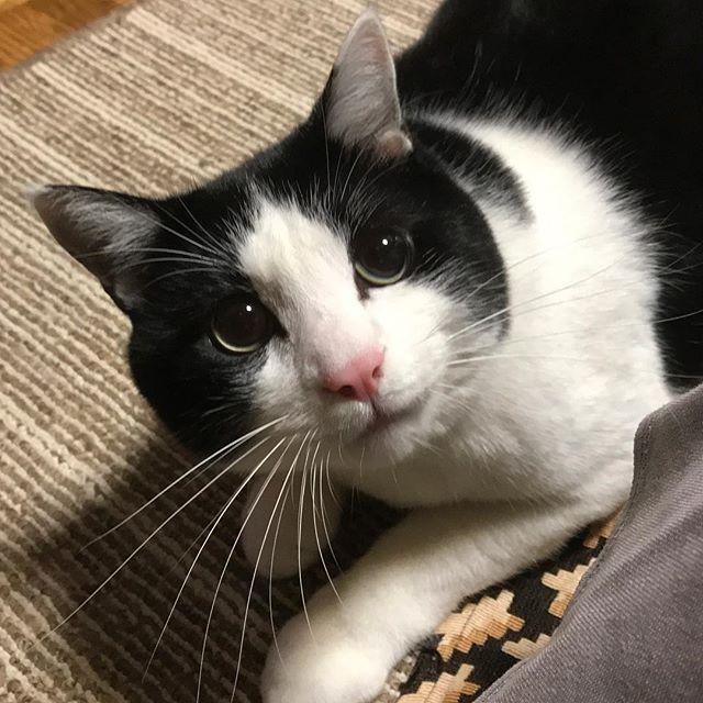 三連休いかがお過ごしでしたか?私は3日間仕事でした💦サービス業のため定休日もなく目まぐるしく忙しくて、早くも師走を感じました。 今日は休み。 家事を済ませて軽くストレス発散して来ます‼️ #ねこ#猫#ネコ#cat#CAT#愛猫#元野良猫#保護猫#多頭飼い#殺処分ゼロ#にゃんこ#もふもふ#ふわふわ#にゃんすたぐらむ#みんねこ#猫部#猫バカ#嬉しい#癒し#このは#キジトラ#次女#鍵しっぽ#幸運の鍵しっぽ#猫のいる生活#かわいい#親バカ炸裂#いるだけで幸せ#わが家の家族