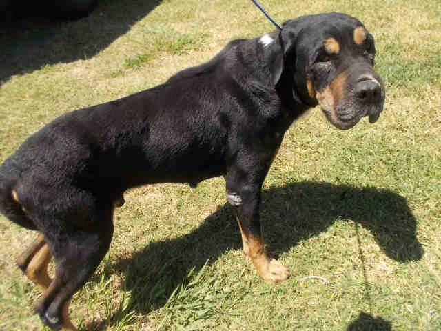 07/09/17-ROSENBERG, TX - FOSTER NEEDED!!!   This DOG - ID#A011143    I am a male, black and tan Rottweiler and Chinese Sharpei.    The shelter staff think I am about 5 years old.    I have been in shelter care since May 05, 2017.    This information was refreshed 6 minutes ago and may not represent all of the animals at the Fort Bend County Animal Services Shelter.