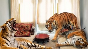 Bengal Tigers' Habitat Down To Studio Apartment In Jaipur, India | Full report at theonion.com