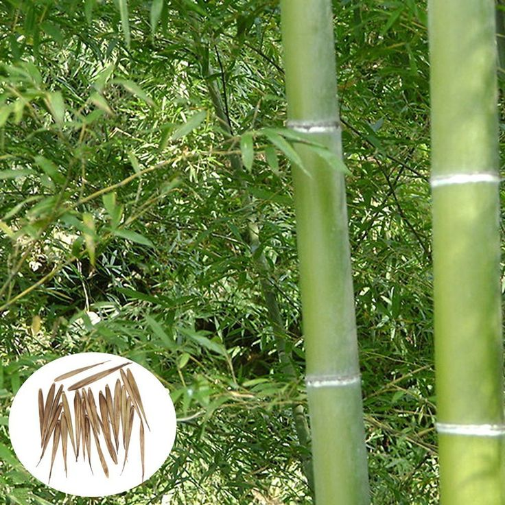 Plant like a bamboo essay checker