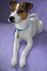 Parson Jack Russell Terrier.                This is my Zoe