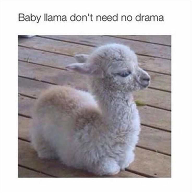 Best 25+ Funny Llama Ideas On Pinterest