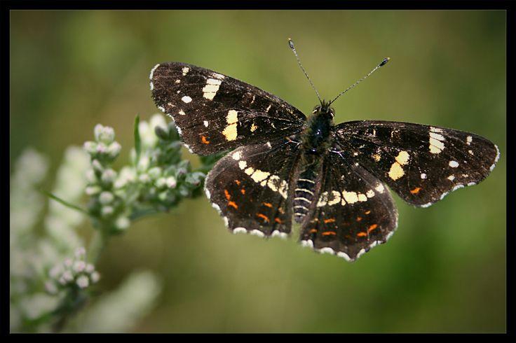 Butterfly - Motýlek by Vlastimil MoDDO Vanek on 500px