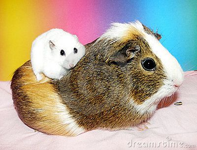 Guinea Pigs vs. Hamsters. How can ANYONE get these 2