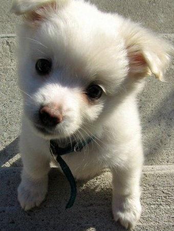 mini chien esquimau américain....aaawweee.....