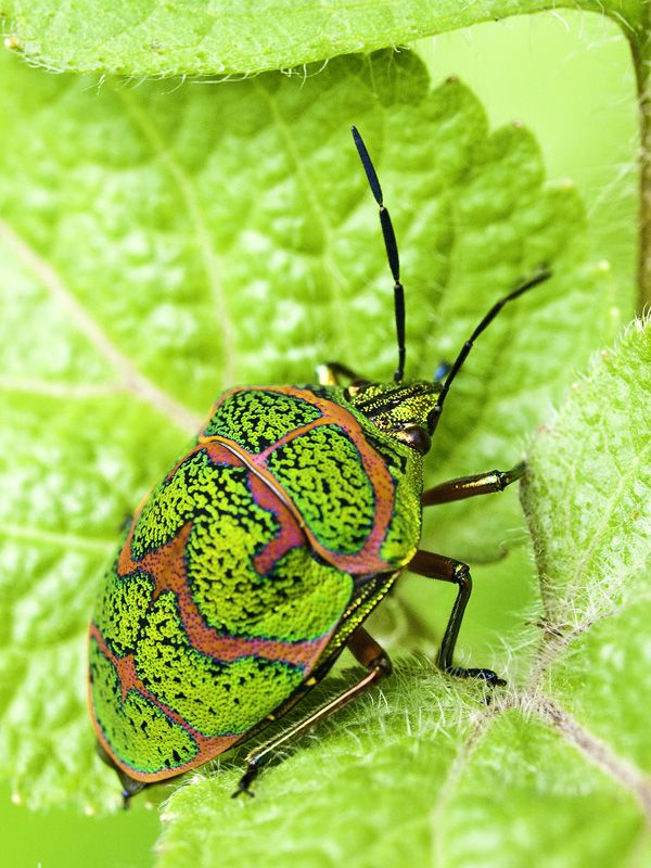 Clown Stink Bug (Poecilocoris lewisi Distant) by Oliver Wu