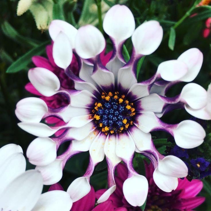 Fantastic flower!! オステオスペルマム Osteospermum african daisy ニンジャホワイト フィリップ Osteospermum Ninja この奇抜な子の名前がよくわからない。。 #君の名は ?? 花言葉〜元気 〜無邪気 〜変わらぬ愛  Language of flower 〜artlessness 〜innocent 〜naive  花言葉はオステオスペルマムのものだけど、このニンジャは妖気な風貌。 以外と良く見かけるので人気なのかな? ニンジャというのね! 不思議な世界の花みたい。暖かくなると、 くびれが無くなるんだって!  #花  #花言葉#iPhonepixonly #flowerslovers #flowerpower #flowerstagram #flowerstagram  #flower #最近の写真花ばっかりだな #5月#花育#生花#ig_japan#ig_flower#ニンジャ#Osteospermum#bloom#beautiful…