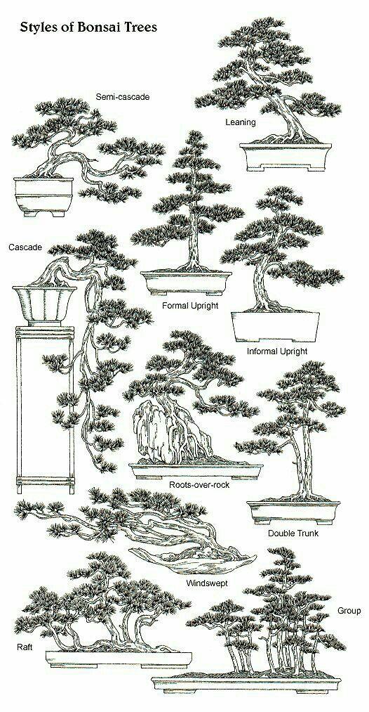 best 25  bonsai trees ideas on pinterest