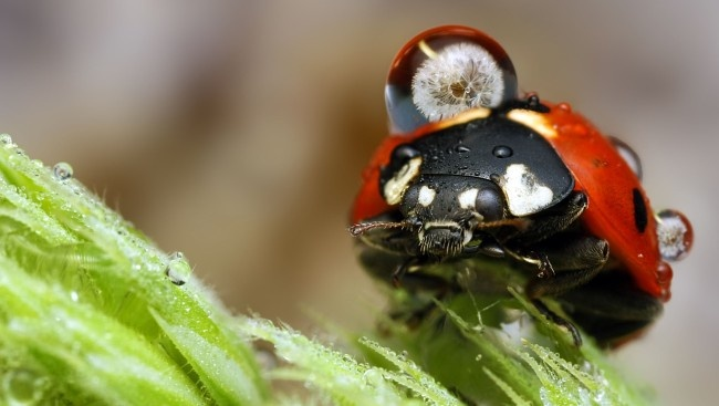 Ladybug with raindrop.
