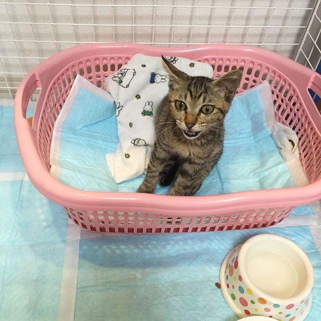 写真の整理をしてたら 保護して2日目のマーブを発見😊9/10 . . 保護した時は病気だらけで ほんま助かるんかなぁ😱💦って状態でした。 .  とりあえず、心配で私の睡眠時間2時間だったとゆう(笑) . . #子猫 #こねこ部  #こねこ #にゃんこ #猫  #ネコ #愛猫 #保護猫 #にゃんすたぐらむ #マーブ #ねこ #catstagram #cat #ねこ