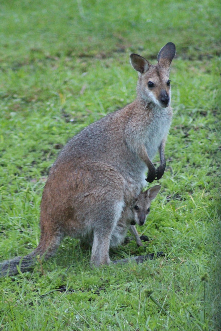 Local residents of the Hunter Valley!  Watch the kangaroos from your balcony at Chateau Elan.  #huntervalley #wine #kangaroo #weddings