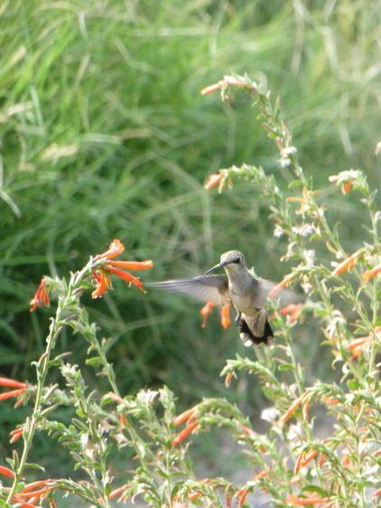 Great Design Plant: California Fuchsia Brings Color and Hummingbirds