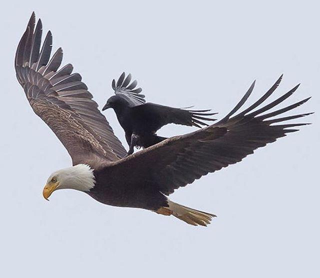 کلاغ ها خیلی دوست دارند عقاب ها را اذیت کنند کلاغ با اینکه از عقاب کوچک تر است اما چون چابک است می تواند سریع بچرخد و مانور بدهد Bald