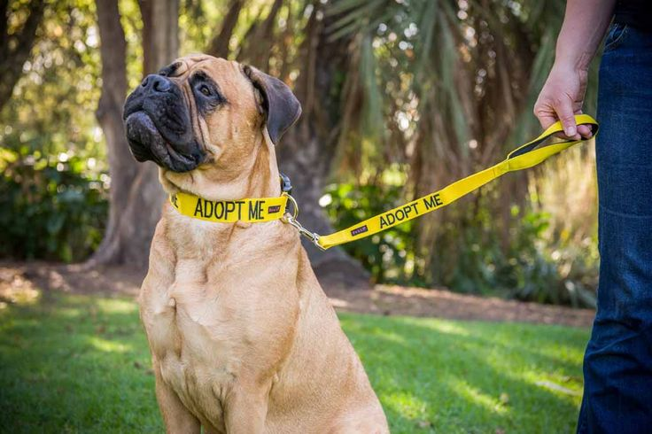 ADOPT ME - I'm Looking For A New Home! Let other know your foster dog is looking for a new home in this bright yellow collar and lead | Groups. Model: Mastiff