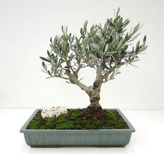 Uno de los árboles preferidos de los aficionados a la técnica bonsái por su ductilidad para producir jins y sharis, a la calidad y belleza de su madera y a su hoja pequeña y perenne.