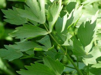 Lavas - Maggieplant is een bekend kruid in de keuken. Zowel de wortel, stengel, blad als de zaden ervan kunnen worden gebruikt. Verse bladeren geven een pittige smaak aan soep, saus, roereieren, spinazie, wortelen en aardappelen. Bladeren kunnen meekoken zonder smaakverlies. Vanwege de sterke aroma, kan lavas beter met mate worden gebruikt. Lavas is een zoutvervanger in gerechten en dus de oplossing voor mensen die een zoutloos dieet volgen.